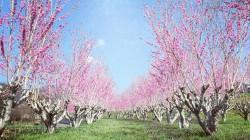 アグリパークいせはら桃の花