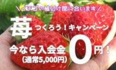神奈川のバーベキュー付き農園でいちご作り